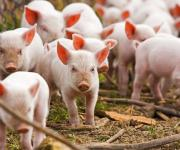 The number of pigs in Ukraine decreased by 9% in 2017
