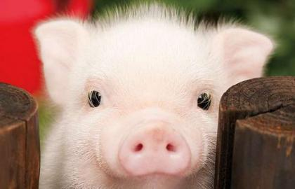 The state is ready to support the pig producers next year