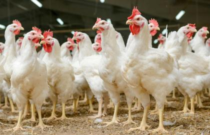 Poultry breeding has the highest growth rates among all branches of the agroindustrial complex