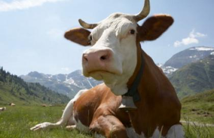 Agrarians counted 260 million UAH subsidies for the keeping of cows