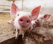 How to get compensation for the young breeder pigs