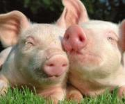 "Scientists have created ""fat-free"" pigs"