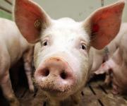 African swine fever again is recorded in Moldova