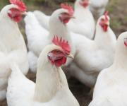Wasteless poultry: an additional source of income can be the poultry manure