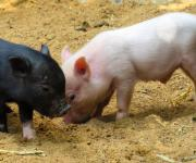 The number of pigs in Ukraine was decreased by 650 600 animals for the period of one year