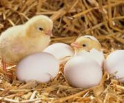 Poultry farming remains the only livestock sector that increases the number of livestock
