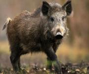 Russia announced the outbreak of ASF through Ukrainian wild boars