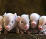 Pedigree pigs and commodity pigs have risen in price in Ukraine