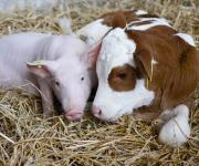 The number of cows and pigs decreased in Ukraine