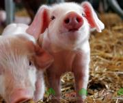 Pig farmers are asking the government to limit meat imports in Moldova