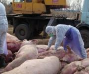 Pig production may disappear due to ASF in Poland