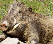 The cases of ASF of domestic pigs have decreased, and have increased of wild ones