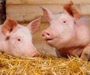 Ukraine banned the import of pigs from 4 voivodships in Poland