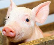 Minus 0.5 million animal units: the population of pigs has decreased in Ukraine