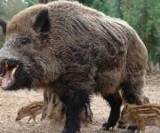 ASF among wild boars was recorded in Kharkiv region