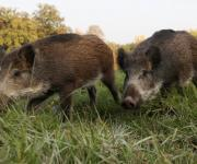 ASF was recorded among wild boars in the Ternopil region