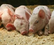 Volume of slaughtering pigs will be increased In Ukraine in the second half-end of 2018