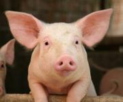 The number of pigs decreased by more than 8% over the year