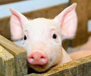 Pigs in live weight have risen in price