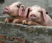 Romania: new outbreaks of ASF among domestic pigs