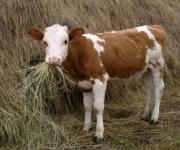 In Ukraine, there will be two programs for fattening young cattle: state and through donor support