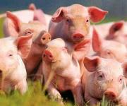 Production of pork this year will decrease, salo will rise in price