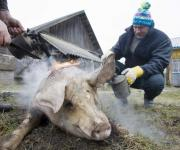 Bill No. 7489 or an instruction to create a shadow market of Ukrainian slaughterhouses