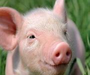Hungary: the first case of African swine fever