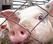 Russia banned Belarusian pigs