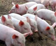 African swine fever: from the beginning of the year 176 wild pigs were shot dead in Zakarpattia