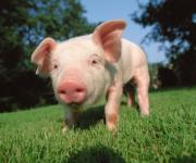 Scientists have discovered a virus among pigs that a human can be infected with