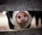 ASF: Ukraine banned the importation of pork from Hungary