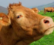 Ukraine in 2025 can increase the number of dairy cows to 2.76 million