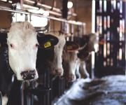 The meat processing industry needs to be developed Instead of increasing the export tax on live cattle