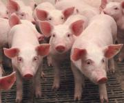 The National Academy of Agrarian Sciences has lost half of the research pig breeding grounds due to ASF