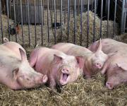 Agriculture households can keep 10-15 pigs per year