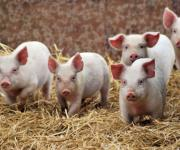 Overview of the EU pig market: meat processing plants reduce prices