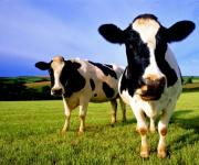 Number of cows and poultry decreased and increased respectively in Ukraine