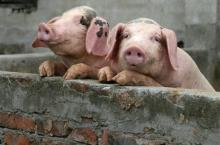 More than a thousand pigs were disposed in Poltava due to ASF